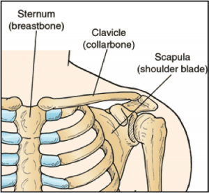 Clavicle Anatomy